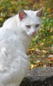 chat blanc dans un cimetière
