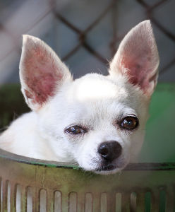 Chihuahua dans une cage