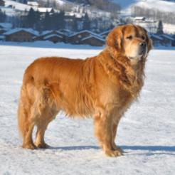 Chien protégé du froid l'hiver, animaux froid