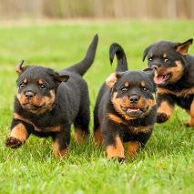 Chiots de race Rottweiler