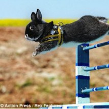 lapin saut d'obstacle